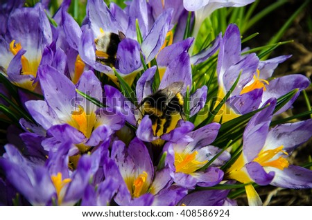 purple crocus flowers close-up pollinating bumblebee covered in pollen  - stock photo