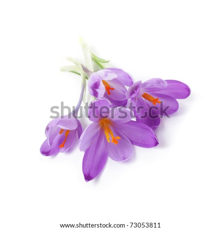 Purple crocus flowers, isolated on white - stock photo