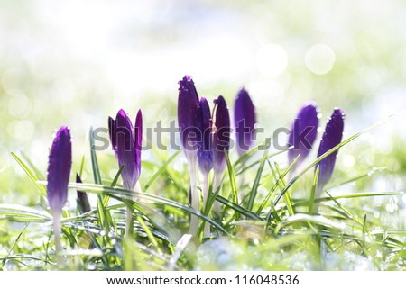 purple crocus flowers on a cold morning