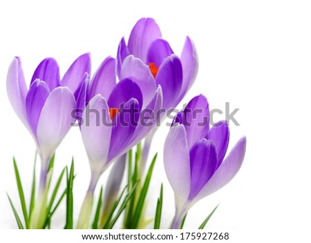 Purple Crocuses close up - stock photo