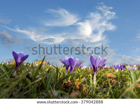 Purple crocuses in grass on blue sky in spring - stock photo