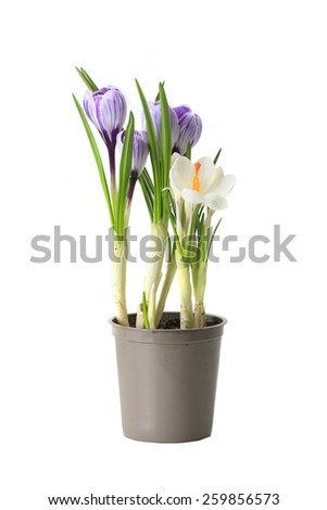 purple crocuses  on a white background