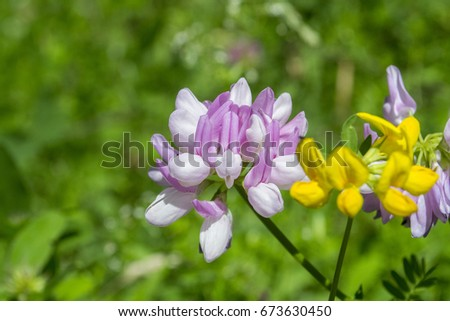 planting crown vetch plants purple crown vetch stock images royalty free images vectors