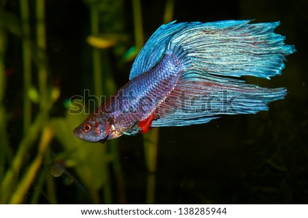 Purple cyan blue siamese fighting fish (Betta splendens) in aquarium - stock photo