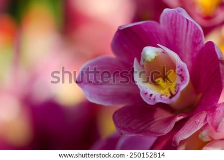 Purple Cymbidium orchid flower with blurred background - stock photo