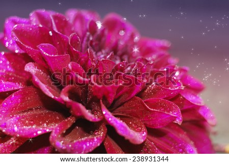 Purple dahlia flower with drops of dew - stock photo
