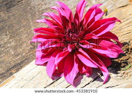 Purple dahlia on the wooden background