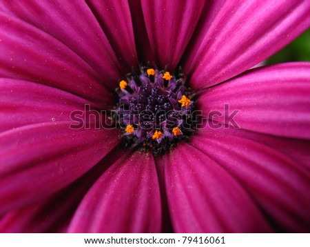 Purple daisy, close up at the spring time