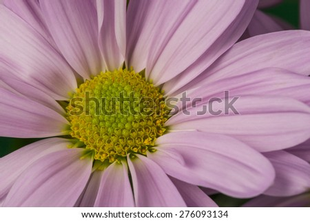 Purple Daisy Flower - stock photo
