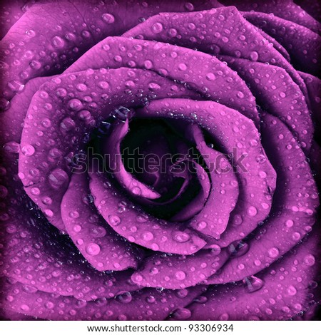 Purple dark rose background, abstract floral natural pattern, fresh flower with water drops, beautiful wet plant petals texture, nature details, holidays symbol of love - stock photo