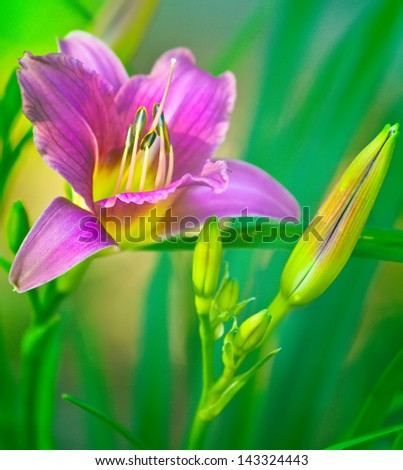 Purple day lily with green leaves against a soft background