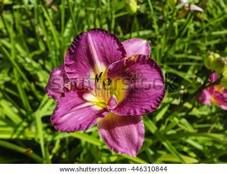 Purple Daylily flower in a herbaceous border. - stock photo