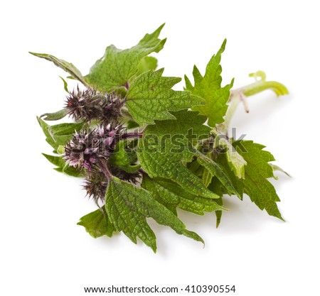 Purple Dead-nettle Lamium purpureum wildflower plant over white background - stock photo