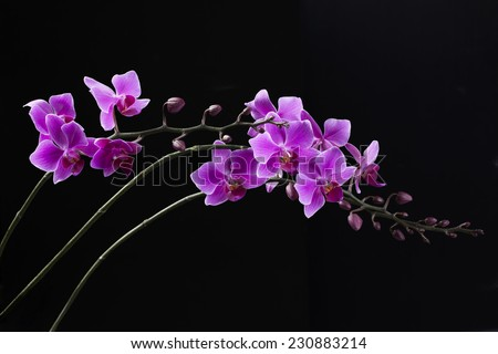 purple Dendrobium orchid in black background - stock photo