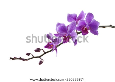 purple Dendrobium orchid on white background - stock photo