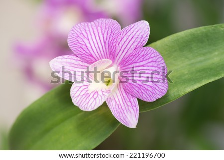 Purple dendrobium orchid with green leaves top view  - stock photo