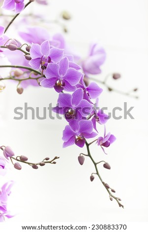 purple Dendrobium orchid with soft light - stock photo
