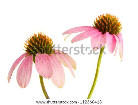 Purple echinacea, isolated on white - stock photo