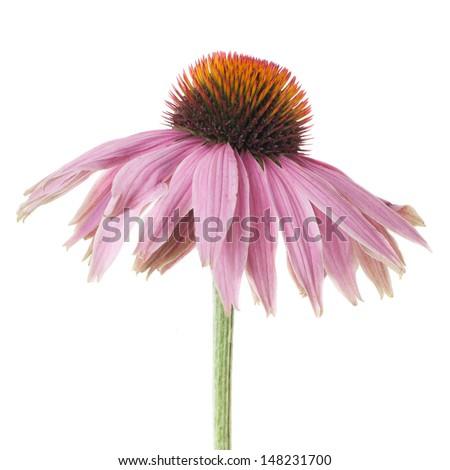 purple echinacea isolated on white background - stock photo