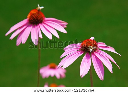Purple echinacea, source of medicines supporting immune system - stock photo
