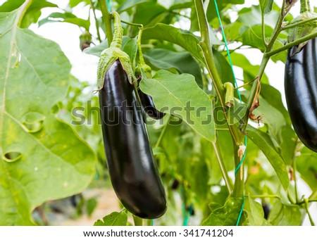 Purple eggplants growing on the bush - stock photo