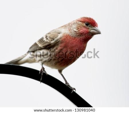 Purple Finch - stock photo