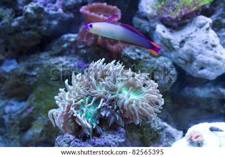 Purple Firefish swimming over Duncanopsammia Axifuga coral. - stock photo