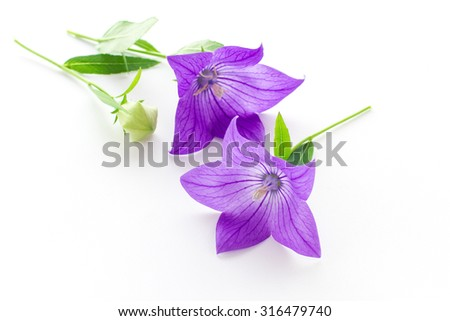 Purple flower, bud and leaves of  balloon flower or bellflowers (Platycodon grandiflorus) isolated on white background - stock photo