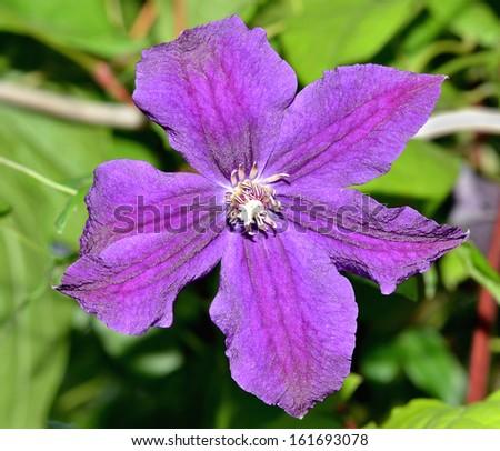 Flores perennes púrpuras, púrpura oscuro, púrpura clara, púrpura Flores tropicales