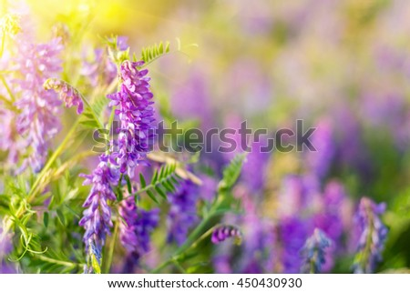 Purple flower field with sunlight - stock photo