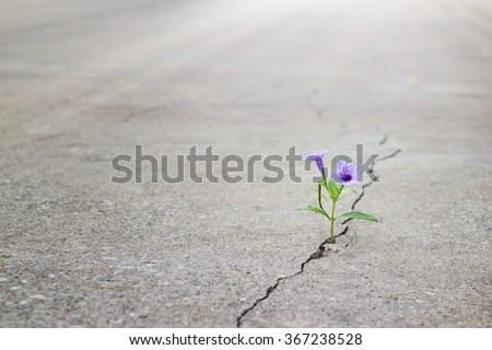purple flower growing on crack street, soft focus, blank text - stock photo