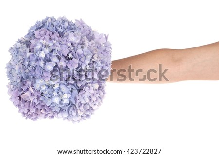 Purple flower hydrangea in hand on white background. Clipping path inside