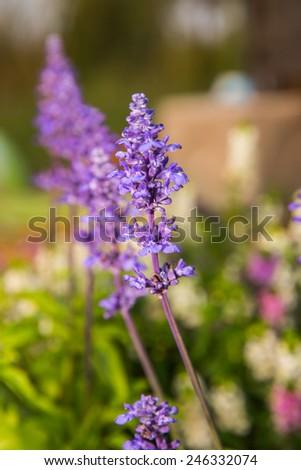 Purple flower in garden close up. - stock photo