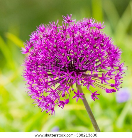 Purple Flower isolated against green, square cropped - stock photo