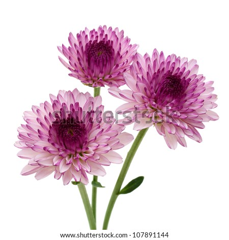 purple flower white background, Beautiful flower