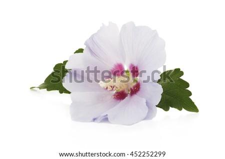 Purple Flower Hibiscus Syriacus On White Stockfoto (Lizenzfrei ...