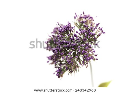 purple flower on a white background
