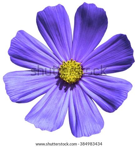 Purple flower Primula macro isolated on white - stock photo