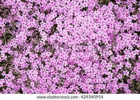 Purple flower texture as background as purple color - stock photo