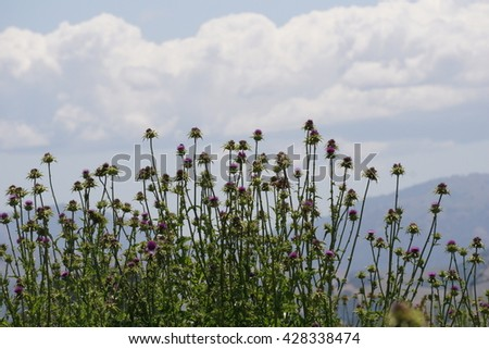 Purple flowered Thistle against a blue sky and white clouds, California