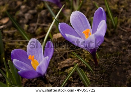 Purple flowering crocus bright yellow stamens stock photo safe to purple flowering crocus with bright yellow stamens mightylinksfo