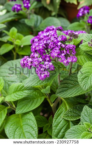 Purple flowering heliotrope plant with green leaves - stock photo