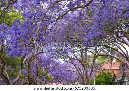 Purple flowering tree tunnel jacaranda trees stock photo download purple flowering tree tunnel jacaranda trees nature background mightylinksfo