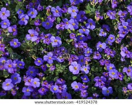 Purple flowers - bumblebee standing on the flower - stock photo