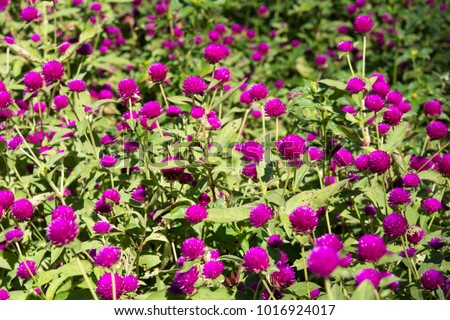 Purple flowers field , Amaranth flowers field, Gomphrena globosa flowers