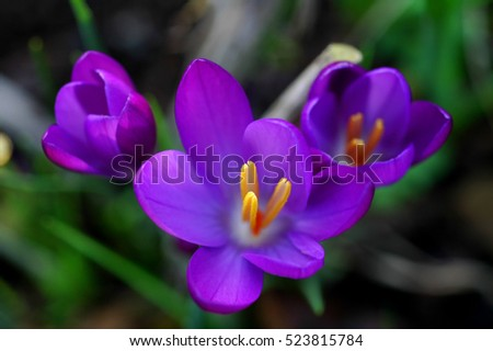 Purple Flowers In The Early Spring