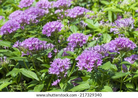 Purple flowers in the garden - stock photo