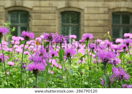 Purple flowers on flowerbed over house background