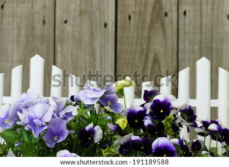 Purple flowers (pansies) border white picket fence - stock photo