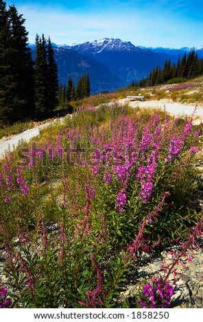 Purple flowers, pine trees, and snow peaks of Blackcomb Mountains. More with keyword group14l  - stock photo